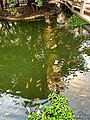 Pink tilapia and Koi pond at Freedom Park.jpg