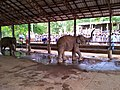 Pinnawala Elephant Orphanage 2012 - panoramio (5).jpg