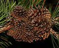 Pinus contorta (Lodgepole Pine) - cones - Flickr - S. Rae (1).jpg