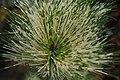 Pinus densiflora Oculus-draconis 3zz.jpg