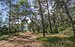 Pinus halepensis, Castries, Hérault 02.jpg