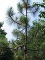 Pinus palustris 3zz.jpg