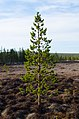 Pinus sylvestris, Luulamminsuo, Urho Kekkonen National Park, Lapland, Finland, 2017-06-09 202206.jpg