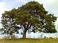 Pinus sylvestris by S Rusche.JPG