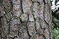 Pinus taeda CG 7 NBG LR.jpg