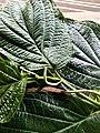 Piperaceae Leaves and Flowers.jpg