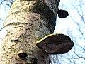 Piptoporus betulinus JPG3.jpg