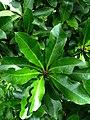 Pisonia wagneriana (5490626901).jpg