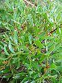 Pistacia lentiscus re.jpg