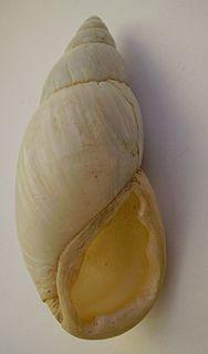 <i>Placostylus ambagiosus</i> species of flax snail