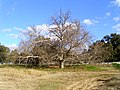 Planetree (Platanus) growing on the North Wagga Flats.jpg