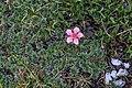Plants from Vallon peaks Sella 29.jpg