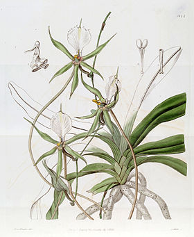Plectrelminthus caudatus (as Angraecum caudatum) - Edwards vol 22 pl 1844 (1836).jpg