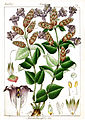 Pleocaulus sessilis Govindoo.jpg