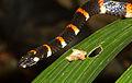 Pliocercus euryzonus.jpg
