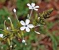 Plumbago zeylanica in Anantgiri, AP W2 IMG 8881.jpg