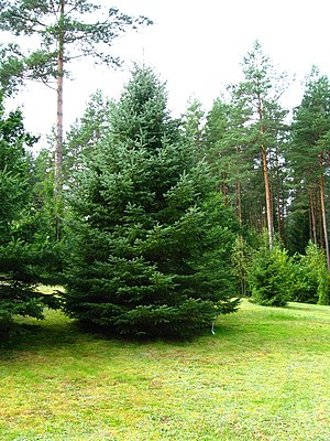 English: Blue Spruce (Picea pungens) Polski: Ś...