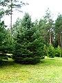 Podlaskie - Suprasl - Kopna Gora - Arboretum - Picea pungens - plant.JPG