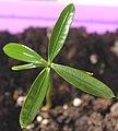 Podocarpus elatus seedling 2, by Omar Hoftun.jpg