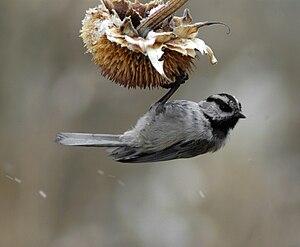 Mountain chickadee - Image: Poecile gambeli 2