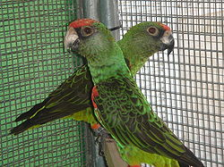Poicephalus gulielmi -pair in captivity -3c.JPG