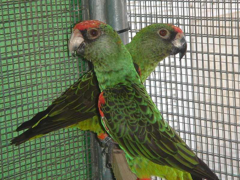 Payl:Poicephalus gulielmi -pair in captivity -3c.JPG