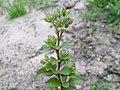 Polycarpon tetraphyllum branch1 (14756618117).jpg