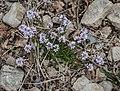 Polygala calcarea in Aveyron (29).jpg