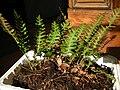 Polypodium virginianum.jpg