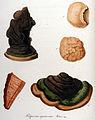 Polyporus igniarius — Flora Batava — Volume v10.jpg