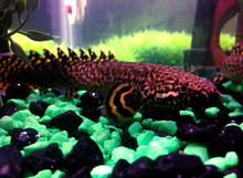 Polypterus ornatipinnis 2.png