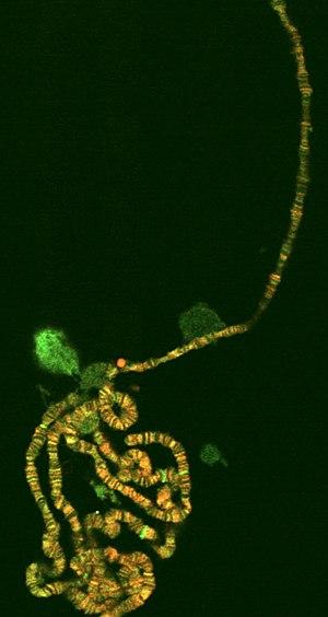 Polytene chromosome - Polytene chromosome