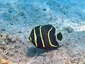 Pomacanthus paru (French angelfish) (San Salvador Island, Bahamas) 2 (15965939488).jpg