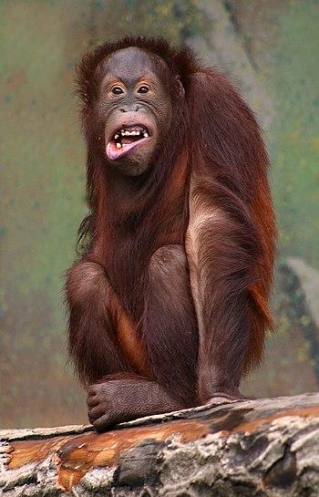Orangutan in Aalborg Zoo, Denmark Español: Ora...