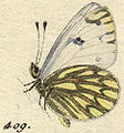 Pontia.daplidice.orig.figure.from.Huebner.1800.1.jpg