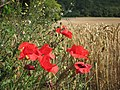 Poppies by Wheat field - geograph.org.uk - 2521452.jpg