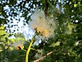 Populus heterophylla seeds.jpg