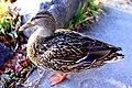 Poser Duck.jpg