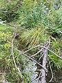 Potamogeton nodosus sl17.jpg