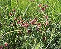 Potentilla palustris 180606.jpg