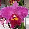 Potinara Li Jiuan Dancer -香港沙田國蘭展 Shatin Orchid Show, Hong Kong- (24798682029).jpg
