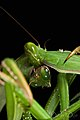 Praying Mantis Sexual Cannibalism European-75.jpg