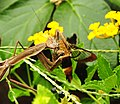 Praying mantis noshes on a hummingbird moth. (7678960332).jpg