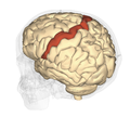 Precentral gyrus - superior view2.png