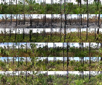 Fire ecology - A combination of photos taken at a photo point at Florida Panther NWR. The photos are panoramic and cover a 360 degree view from a monitoring point. These photos range from pre-burn to 2 year post burn.