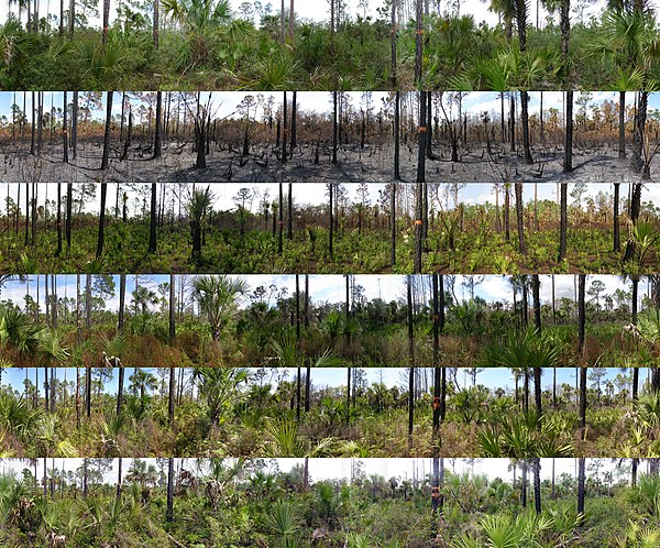 Panoramic photo series of succession in Florida pine woodland
