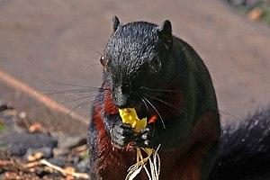 Prevost's squirrel - Image: Prevost's squirrel (Callosciurus prevostii pluto) 2