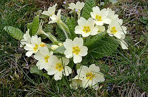 Stängellose Schlüsselblume (Primula-Vulgaris-Hybride)