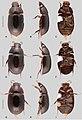 Primocerus (10.3897-zookeys.855.33013) Figure 13.jpg