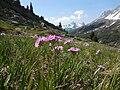 Primula farinosa - Névache.jpg